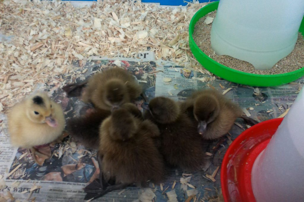 Our Ducklings Have Hatched!