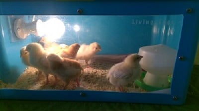 Our Chicks are Here!